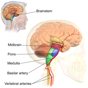 DIPG - Structures of the brainstem